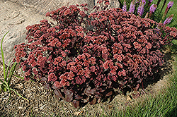 Purple Emperor Stonecrop (Sedum 'Purple Emperor') at Peck's Green Thumb Nursery