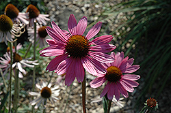 Tennessee Coneflower (Echinacea tennesseensis) at Peck's Green Thumb Nursery