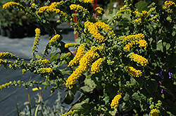 Golden Fleece Goldenrod (Solidago sphacelata 'Golden Fleece') at Peck's Green Thumb Nursery
