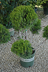 Mint Julep Juniper (pom pom) (Juniperus chinensis 'Mint Julep (pom pom)') at Peck's Green Thumb Nursery