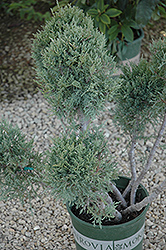 Hetz Blue Juniper (pom pom) (Juniperus chinensis 'Hetz Blue (pom pom)') at Peck's Green Thumb Nursery