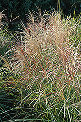 Red Silver Maiden Grass (Miscanthus sinensis 'Rotsilber') at Peck's Green Thumb Nursery