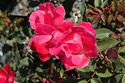 Pink Knock Out® Rose (Rosa 'Radcon') at Peck's Green Thumb Nursery