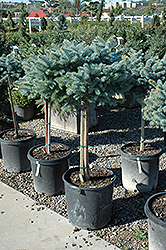 Globe Blue Spruce (tree form) (Picea pungens 'Globosa (tree form)') at Peck's Green Thumb Nursery