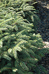 Elegans Spruce (Picea abies 'Elegans') at Peck's Green Thumb Nursery