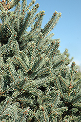 Yukon Blue Spruce (Picea glauca 'Yukon Blue') at Peck's Green Thumb Nursery