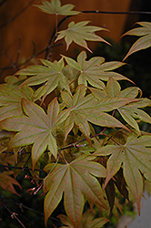 Purple-Leaf Japanese Maple (Acer palmatum 'Atropurpureum') at Peck's Green Thumb Nursery
