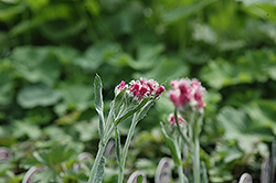 Red Pussytoes (Antennaria dioica 'Rubra') at Peck's Green Thumb Nursery