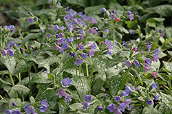 Majeste Lungwort (Pulmonaria 'Majeste') at Peck's Green Thumb Nursery