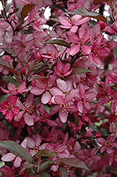 Royal Raindrops Flowering Crab (Malus 'Royal Raindrops') at Peck's Green Thumb Nursery