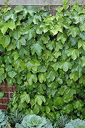 Veitch Boston Ivy (Parthenocissus tricuspidata 'Veitchii') at Peck's Green Thumb Nursery