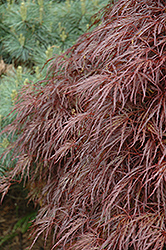 Red Select Cutleaf Japanese Maple (Acer palmatum 'Dissectum Red Select') at Peck's Green Thumb Nursery