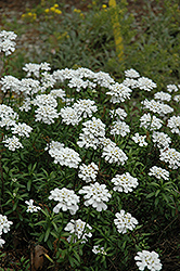 Purity Candytuft (Iberis sempervirens 'Purity') at Peck's Green Thumb Nursery