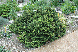 Pumila Norway Spruce (Picea abies 'Pumila') at Peck's Green Thumb Nursery