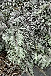 Pewter Lace Painted Fern (Athyrium nipponicum 'Pewter Lace') at Peck's Green Thumb Nursery