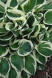 Patriot Hosta (Hosta 'Patriot') at Peck's Green Thumb Nursery