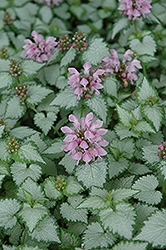Pink Chablis® Spotted Dead Nettle (Lamium maculatum 'Checkin') at Peck's Green Thumb Nursery