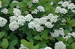 Birchleaf Spirea (Spiraea betulifolia) at Peck's Green Thumb Nursery