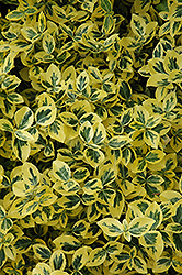 Emerald 'n' Gold Wintercreeper (Euonymus fortunei 'Emerald 'n' Gold') at Peck's Green Thumb Nursery