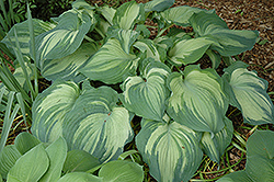 Guardian Angel Hosta (Hosta 'Guardian Angel') at Peck's Green Thumb Nursery