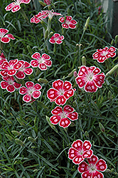 Spotty Pinks (Dianthus 'Spotty') at Peck's Green Thumb Nursery