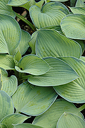Bright Lights Hosta (Hosta 'Bright Lights') at Peck's Green Thumb Nursery