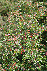 Cranberry Cotoneaster (Cotoneaster apiculatus) at Peck's Green Thumb Nursery
