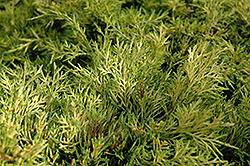 Golden Joy Juniper (Juniperus x media 'Golden Joy') at Peck's Green Thumb Nursery