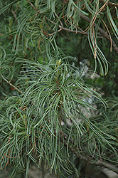 Twisted White Pine (Pinus strobus 'Contorta') at Peck's Green Thumb Nursery