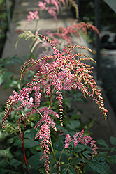 Ostrich Plume Astilbe (Astilbe x arendsii 'Ostrich Plume') at Peck's Green Thumb Nursery