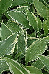 Antioch Hosta (Hosta 'Antioch') at Peck's Green Thumb Nursery