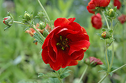 Arc En Ciel Cinquefoil (Potentilla 'Arc En Ciel') at Peck's Green Thumb Nursery
