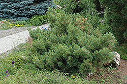 Macopin Eastern White Pine (Pinus strobus 'Macopin') at Peck's Green Thumb Nursery