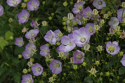 Samantha Bellflower (Campanula 'Samantha') at Peck's Green Thumb Nursery