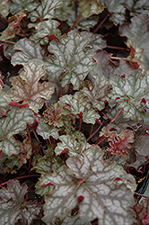 Can Can Coral Bells (Heuchera 'Can Can') at Peck's Green Thumb Nursery