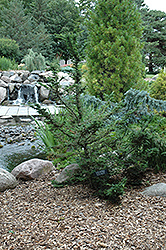 Forest Fountain Hemlock (Tsuga canadensis 'Forest Fountain') at Peck's Green Thumb Nursery