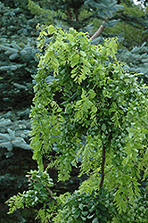 Twisted Baby® Black Locust (Robinia pseudoacacia 'Lace Lady') at Peck's Green Thumb Nursery