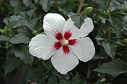 Lil' Kim® Rose of Sharon (Hibiscus syriacus 'Antong Two') at Peck's Green Thumb Nursery