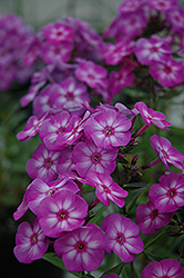 Pixie Miracle Garden Phlox (Phlox paniculata 'Pixie Miracle') at Peck's Green Thumb Nursery