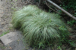 New Zealand Hair Sedge (Carex comans 'Frosted Curls') at Peck's Green Thumb Nursery