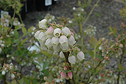 Duke Blueberry (Vaccinium corymbosum 'Duke') at Peck's Green Thumb Nursery