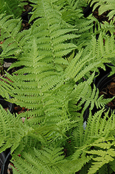 The King Ostrich Fern (Matteuccia 'The King') at Peck's Green Thumb Nursery