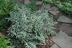 Japanese Painted Fern (Athyrium goeringianum) at Peck's Green Thumb Nursery