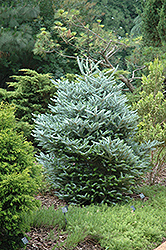 Silver Korean Fir (Abies koreana 'Silberlocke') at Peck's Green Thumb Nursery