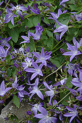 Serbian Bellflower (Campanula poscharskyana) at Peck's Green Thumb Nursery