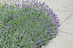 Munstead Lavender (Lavandula angustifolia 'Munstead') at Peck's Green Thumb Nursery