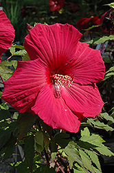Sultry Kiss Hibiscus (Hibiscus 'Sultry Kiss') at Peck's Green Thumb Nursery