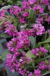 Spring Charm Rock Cress (Arabis 'Spring Charm') at Peck's Green Thumb Nursery