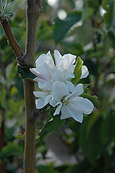 Whitney Flowering Crab (Malus 'Whitney') at Peck's Green Thumb Nursery