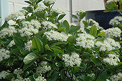Winterthur Viburnum (Viburnum nudum 'Winterthur') at Peck's Green Thumb Nursery